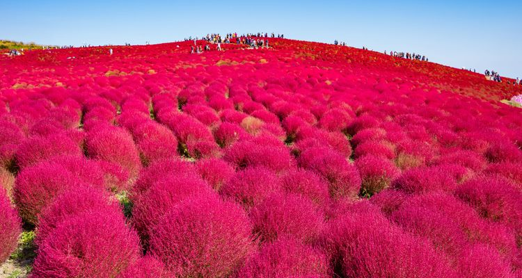Hitachi Seaside Park – Home to One of the Best Flower Fields in Japan