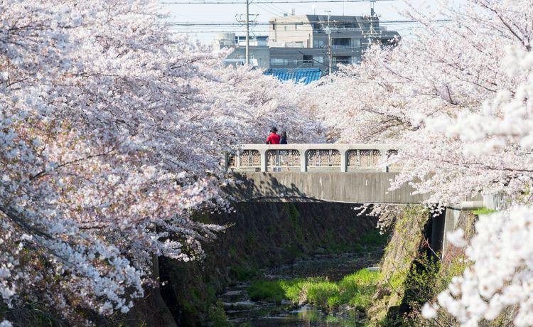 hoa anh đào ở Nagoya