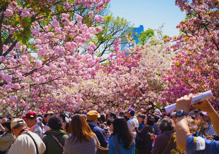 hoa anh đào tại Sở đúc tiền (Osaka)