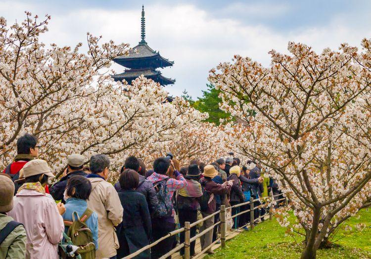 hoa anh đào tại Chùa Ninna (Kyoto)