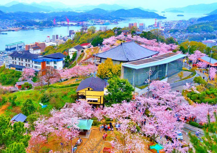 hoa anh đào tại Công viên Senkouji (Onomichi, Hiroshima)
