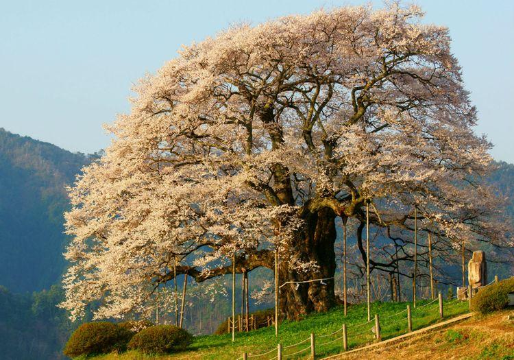 Daigozakura ở Okayama