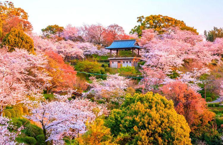 hoa anh đào tại Công viên Kikuchi, Kumamotoc