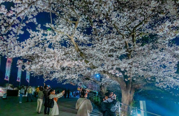 hoa anh đào tại Công viên Maizuru, Fukuoka