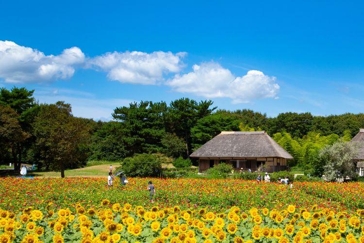 Sunflowers at Hitachi Seaside Park