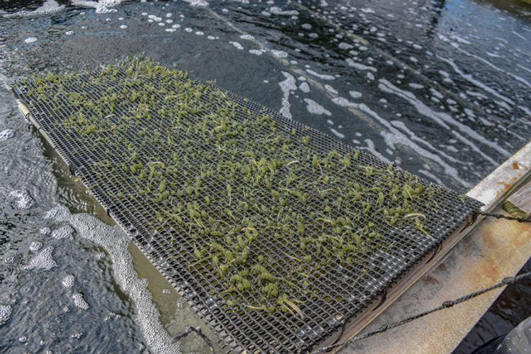 umibudo farm in okinawa