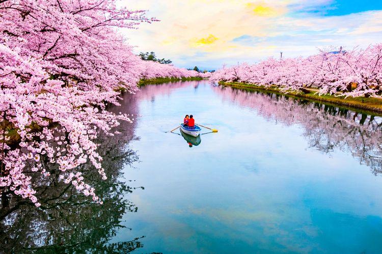 sakura in hirosaki park at full bloom