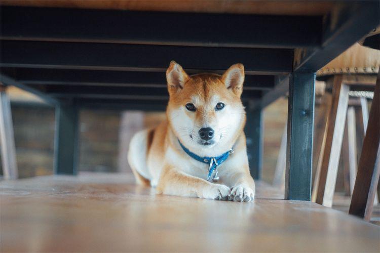 chó shiba của nhật