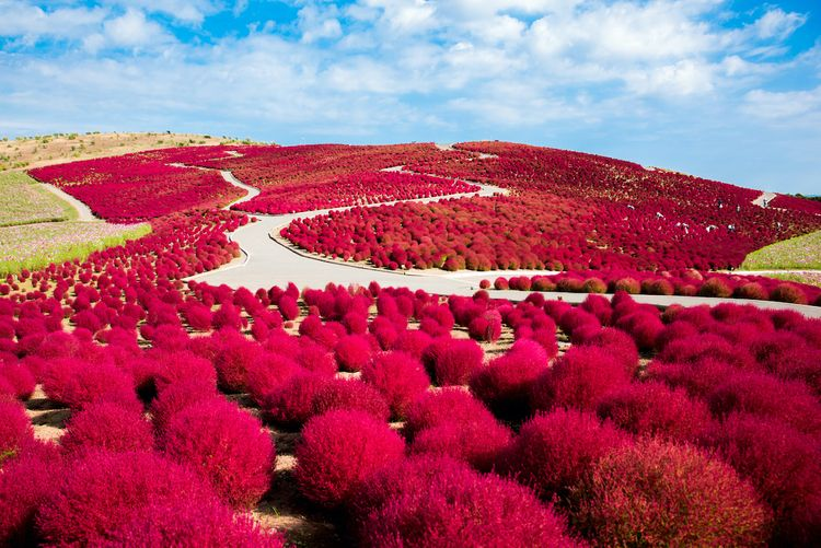 kochia field at Hitachi seaside park