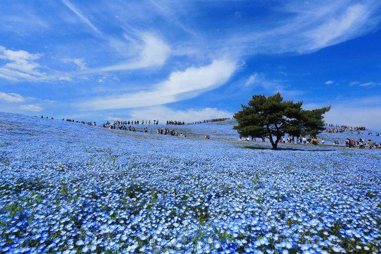 Hitachi Seaside Park Miharashi Hill