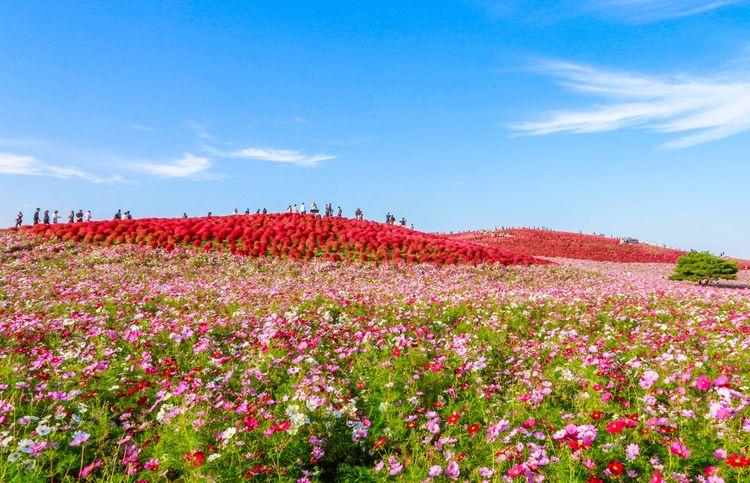 Deep red kochia bushes at Hitachi Seaside Park