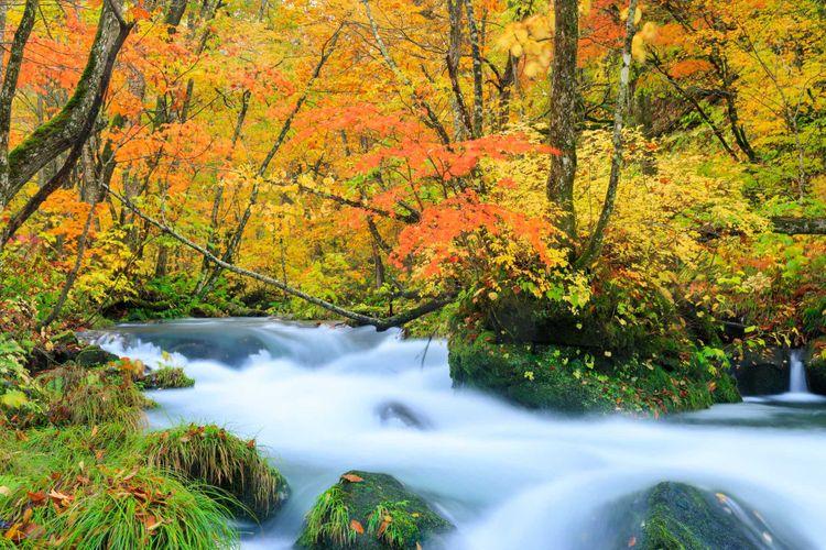 奧入瀨溪流的楓葉美景