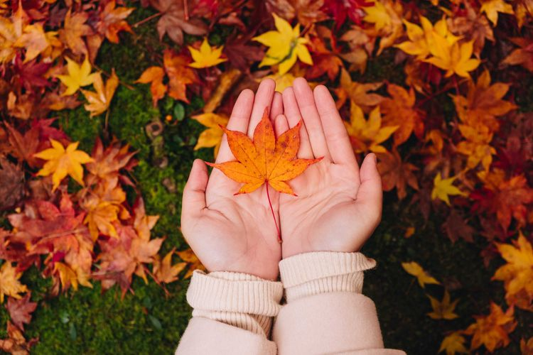 用手捧著美麗的紅葉