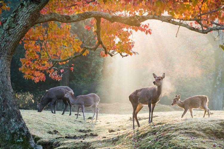 奈良的鹿群與楓葉樹
