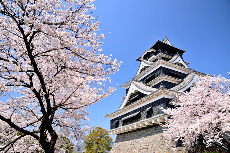 kumamoto castle cherry blossoms