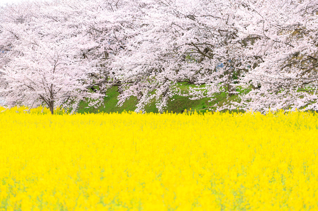 There are many beautiful spring flowers in japan tsunagu japan canola flowers mightylinksfo