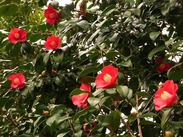 10 beautiful japanese flowers and their meanings tsunagu japan tsubaki camellia spring mightylinksfo