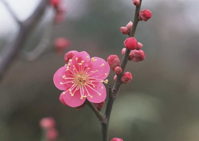 10 beautiful Japanese flowers and their meanings