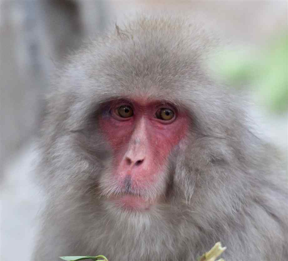 japanese-macaque-2