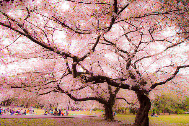 The Beauty And History Of Sakura Japans National Flower Tsunagu