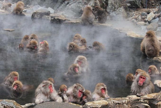 jigokutani-monkey