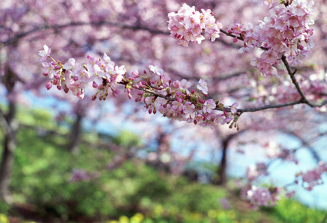 Bilderesultat for sakura tree