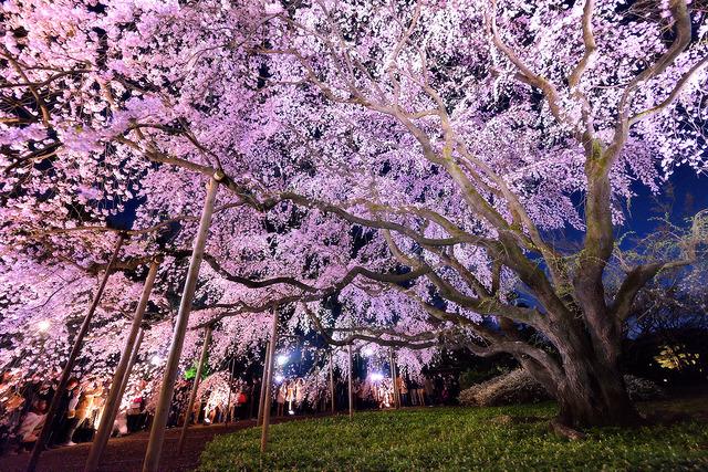 Taichiro Ueki Flickr Sakura
