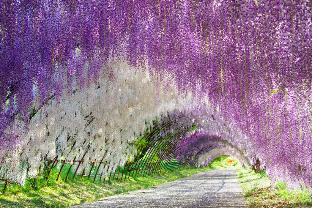 16 must see flower gardens around japan tsunagu japan for The wisteria