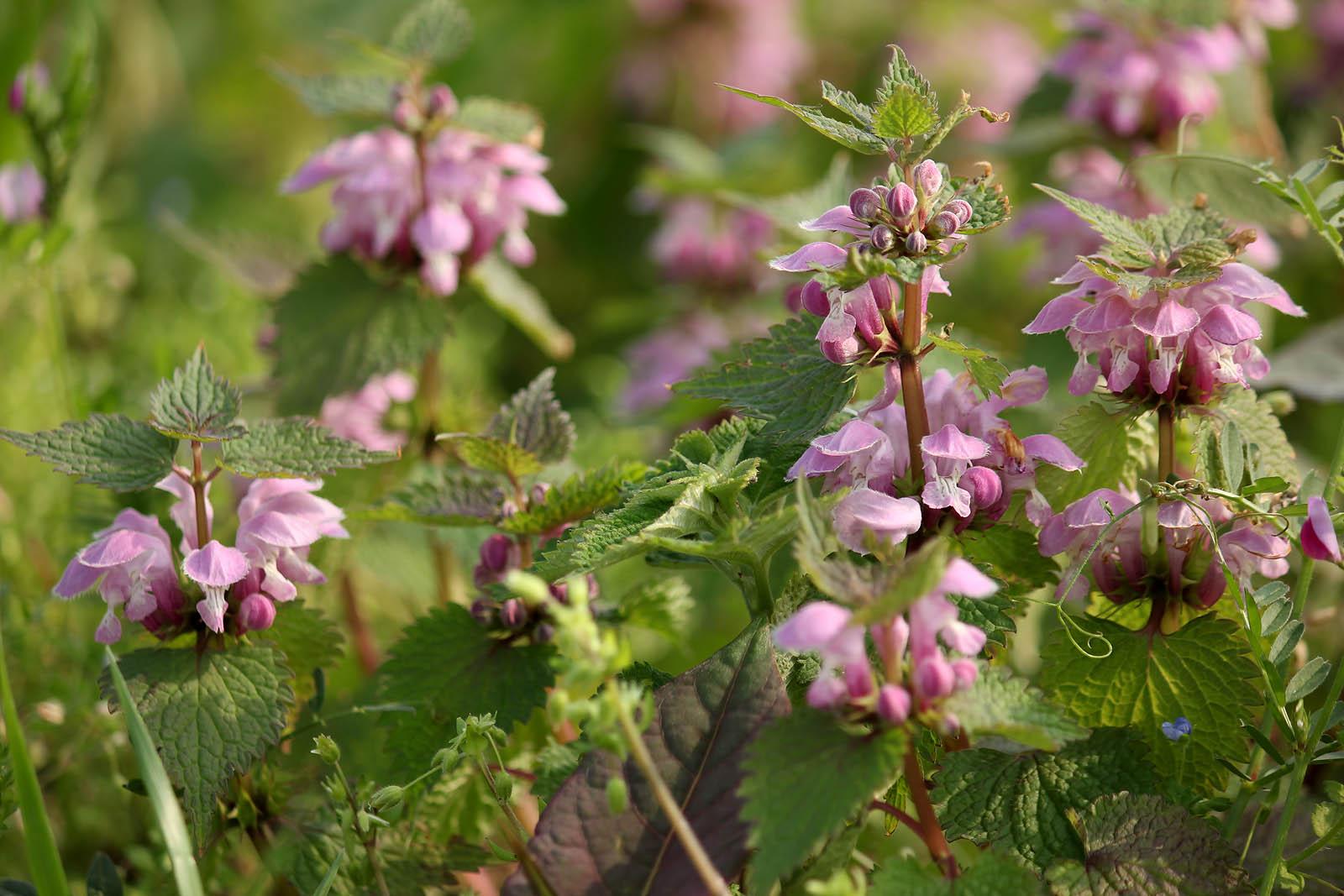 20 flowers that are endemic species in japan tsunagu japan flower photofo izmirmasajfo