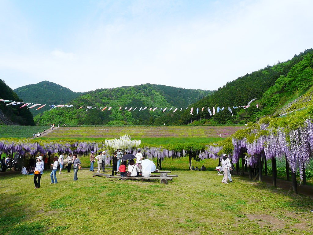 Wisteria Flower Tunnel There Are Many Beautiful Spring Flowers In Japan
