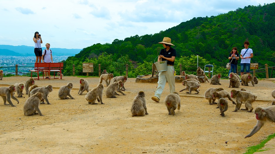 Meet with wild monkeys at Arashiyama Monkey Park in Kyoto!  tsunagu Japan