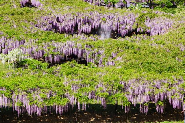 11 Great Locations to Enjoy Wisteria Arbour in Japan | tsunagu Japan