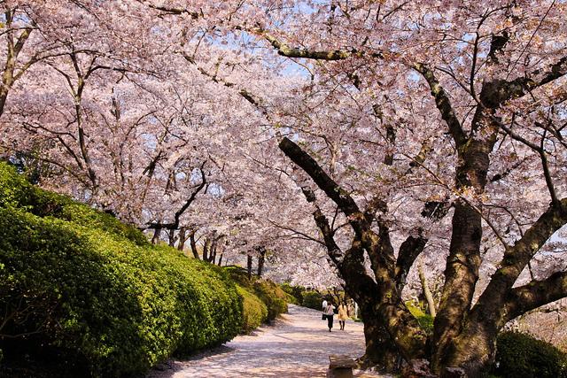 8 beautiful flowers of the four seasons to be seen in japan 5718083400fd1ffdba46z mightylinksfo