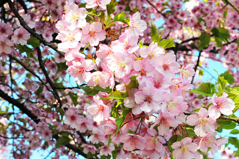 8 beautiful flowers of the four seasons to be seen in japan cherry blossom spring 6905906956786bbb1c1cc mightylinksfo